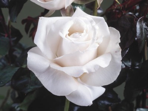 Buy Rose - Remember (Hybrid Tea)