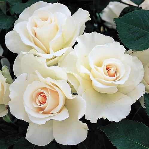 Buy Rose - Margaret Merril (Floribunda)
