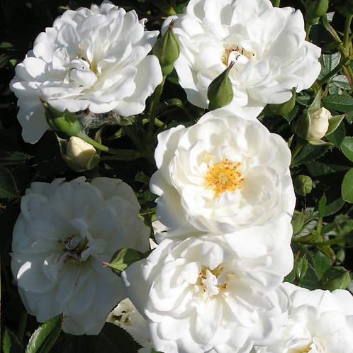 Buy Rose - Kent (Ground Cover)