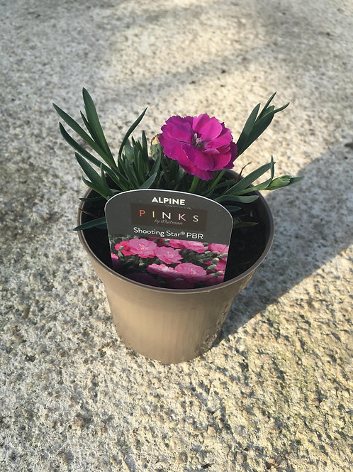 Buy 9cm Alpine Dianthus Shooting Star