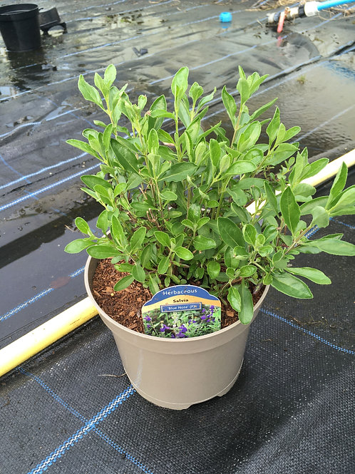 Buy 1L Salvia Blue Note