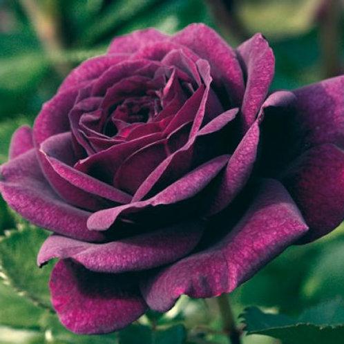 Buy Rose - EBB Tide (Floribunda)