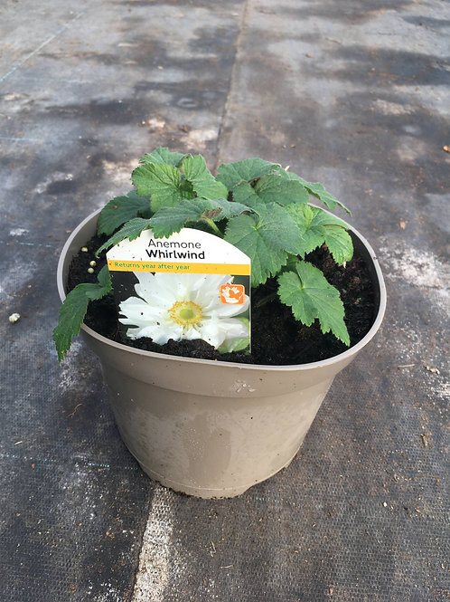 Buy 2L Anemone Whirlwind