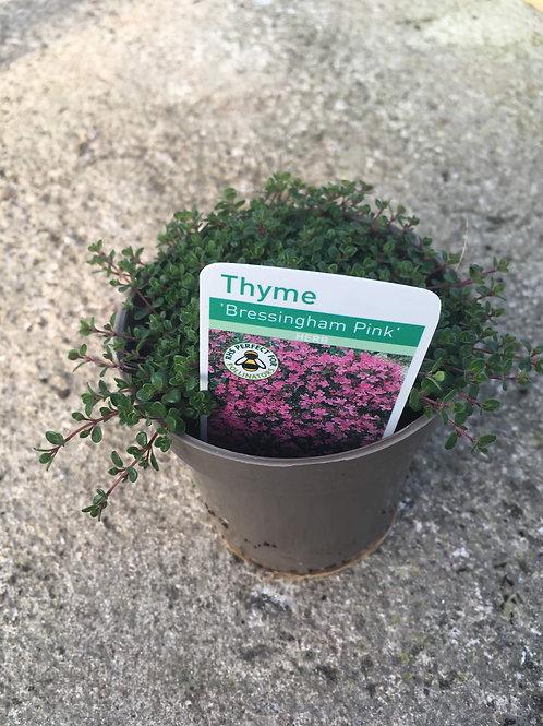 Buy 9cm Herb Thyme Bressingham Pink