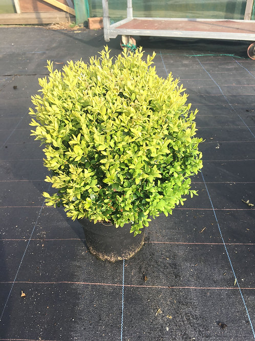 Buy 3L Box (dwarf) Buxus Sempervirens