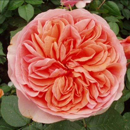 Buy Rose - The Duchess Of Cornwall (Hybrid Tea)