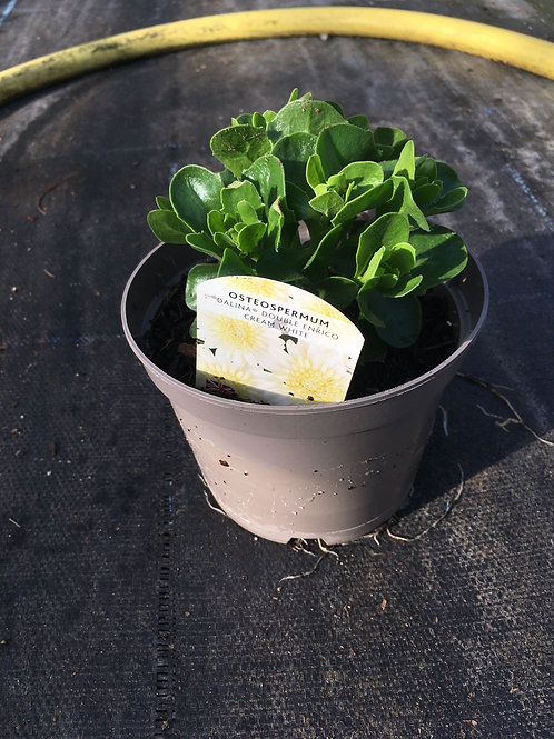 Buy 1L Osteospermum Dalina Double Enrico cream white