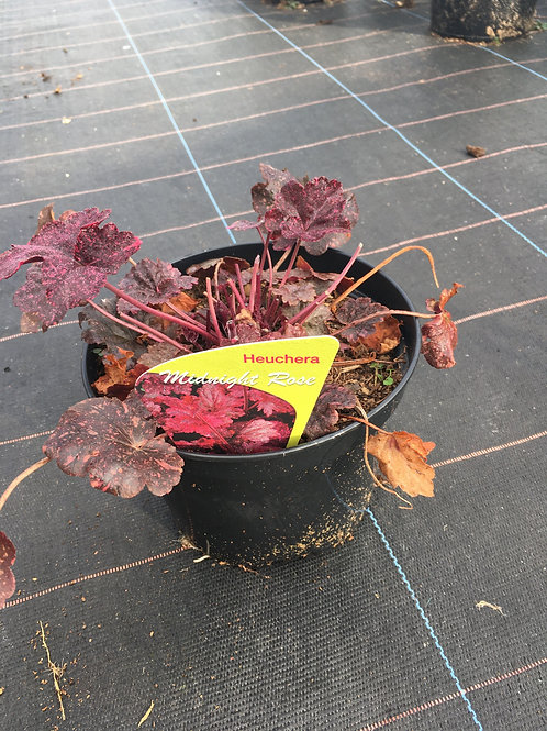 Buy 2L Heuchera Midnight Rose