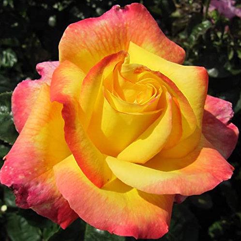 Buy Rose - Love And peace (Hybrid Tea)