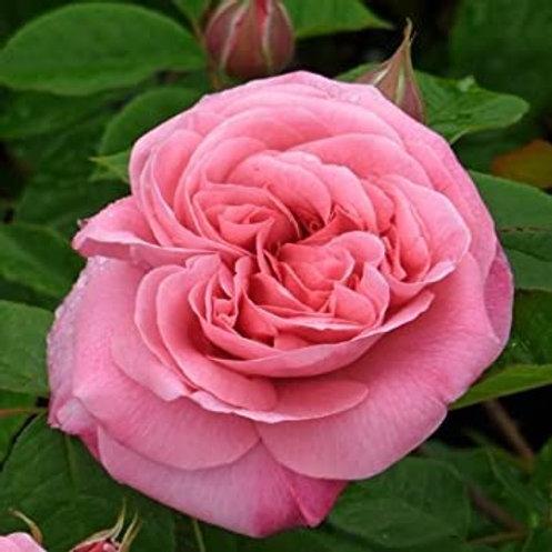 Buy Rose - Friends Forever (Floribunda)