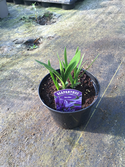 Buy 3L Agapanthus Navy Blue African Lily