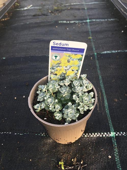 Buy 9cm Alpine Sedum spathulifolium 'Cape Blanco