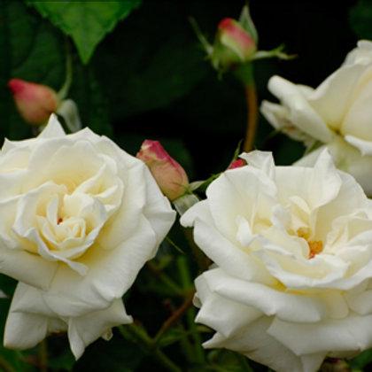 Buy Rose - Ivory Castle (Climber)