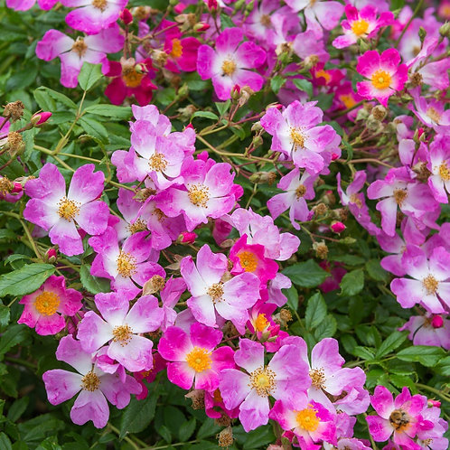 Buy Rose - Scented Carpet (Ground Cover)