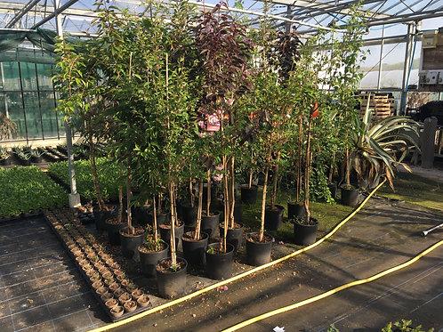 Buy 12L Trees