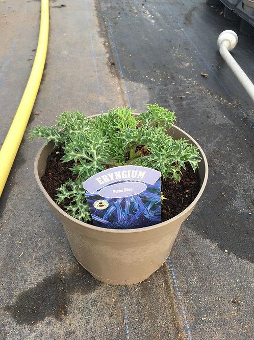 Buy 3L Eryngium Bourgatii Picos Blue 'Sea Holly'
