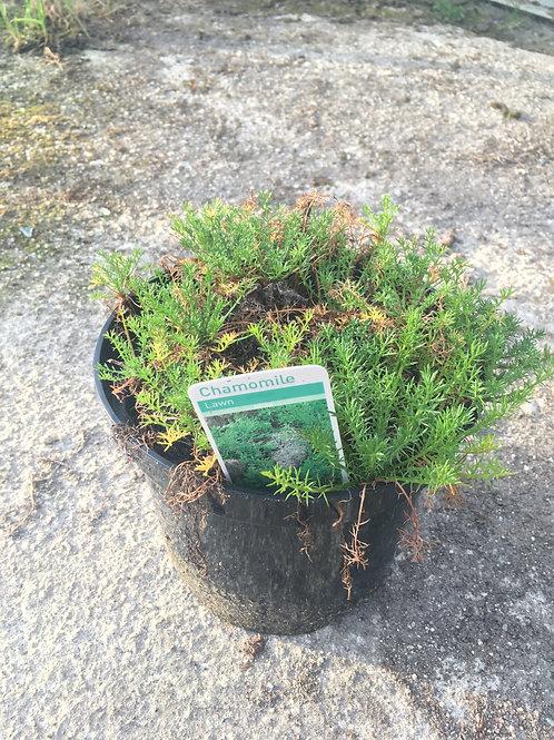Buy 1L Herb Chamomile Chamaemelum Nobile Treneague