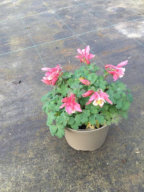 Buy 2L Aquilegia Spring Magic Pink and White