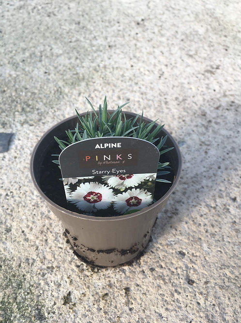 Buy 9cm Alpine Dianthus Starry Eyes