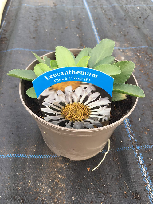 1L Leucanthemum Cloud Cirrus