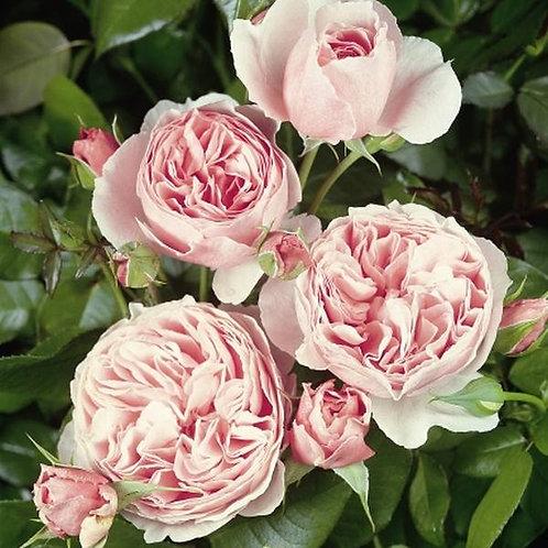 Buy Rose - The Enchantress (Hybrid Tea)