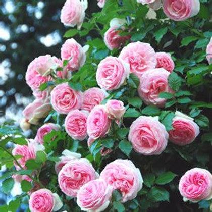 Buy Rose - Cinderella (Climber)