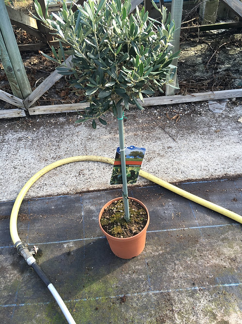 Buy 4L Olive Europaea