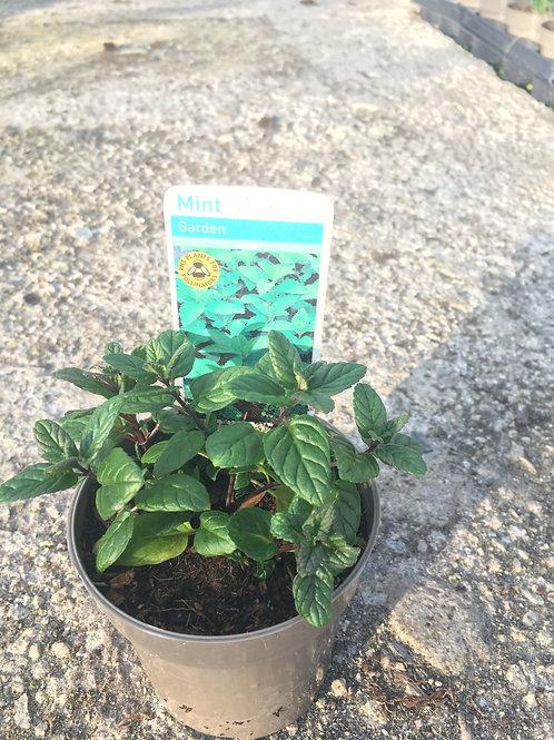 Buy 9cm Herb Garden Mint Mentha Spicata