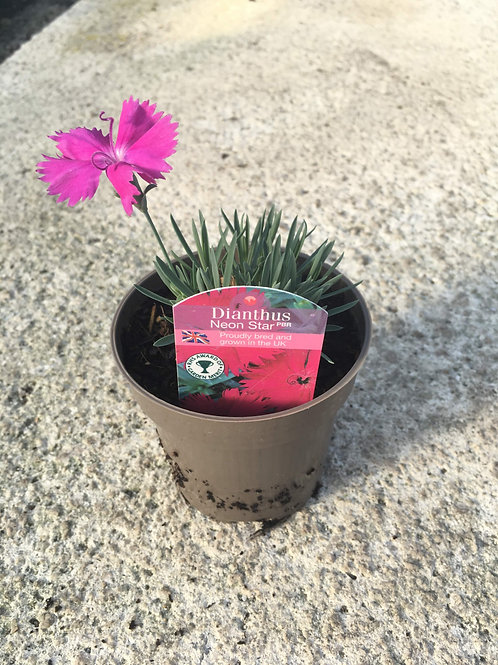 Buy 9cm Alpine Dianthus Neon Star