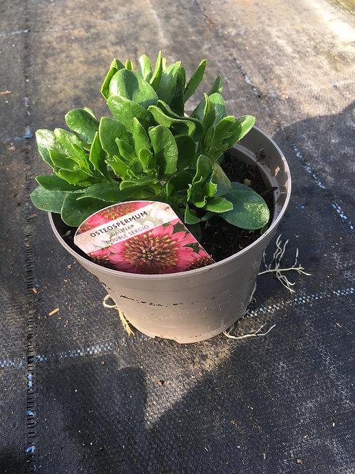 Buy 1L Osteospermum Dalina Double Sergio