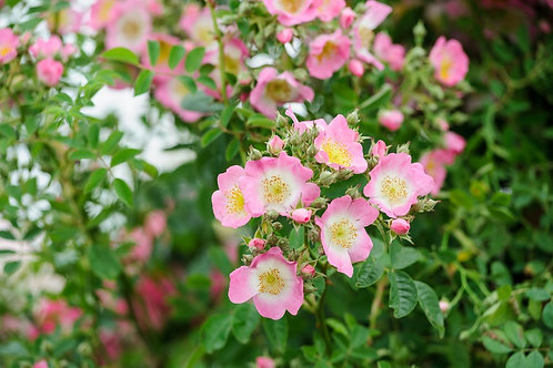 Buy Rose - Kew Rambler (Rambler)