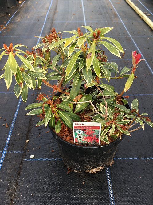 Buy 3L Pieris 'Flaming silver'