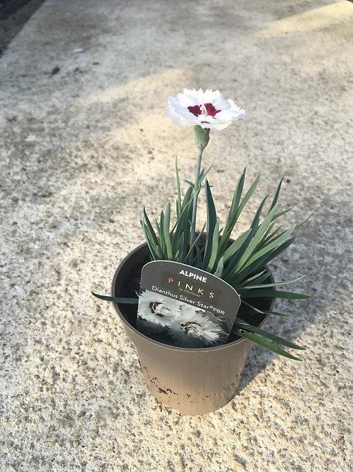 Buy 9cm Alpine Dianthus Silver Star