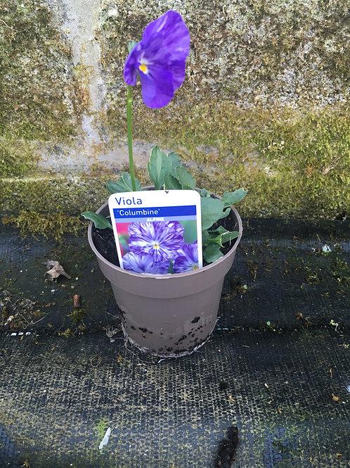 Buy 9cm Alpine Viola 'Columbine'