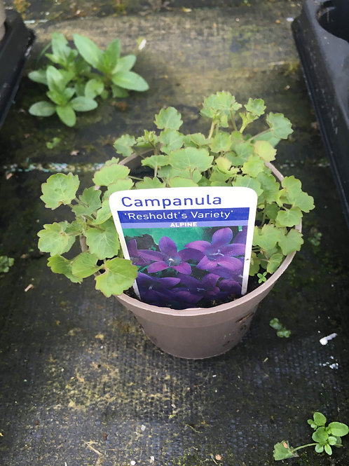 9cm Campanula portenschlagiana 'Resholdt's Variety