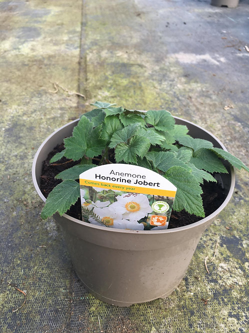 Buy 2L Anemone Honorine Jobert