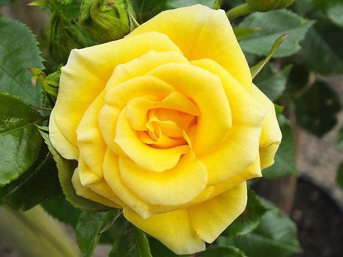 Buy Rose - Flower Power Gold (Patio)