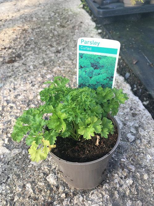 Buy 9cm Herb Parsley (Curled) Petroselinum Crispum