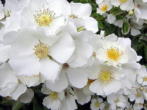 Buy Rose - Wedding Day (Rambler)