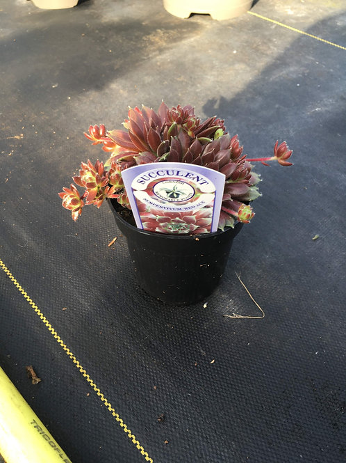 Buy 11cm Succulent Red Ace