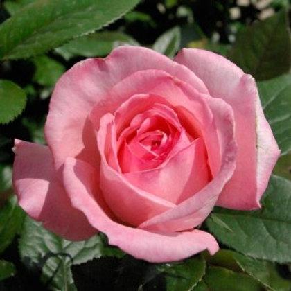 Buy Rose - Fragonard (Hybrid Tea)