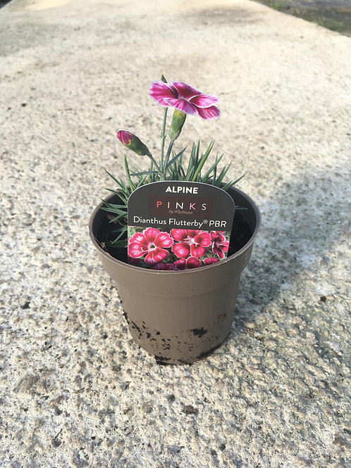 9cm Alpine Dianthus Flutterby