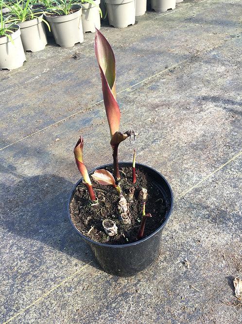 Buy 2L Canna Cannova Scarlet Bronze Leaf