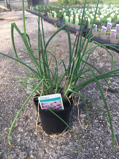 Buy 9cm Chives Allium Schoenoprasum