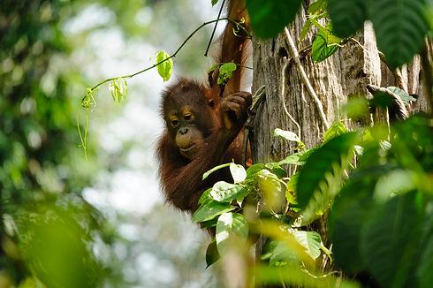 Baby orangutan istock.jpg