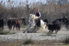 Tri de taureaux Camargue
