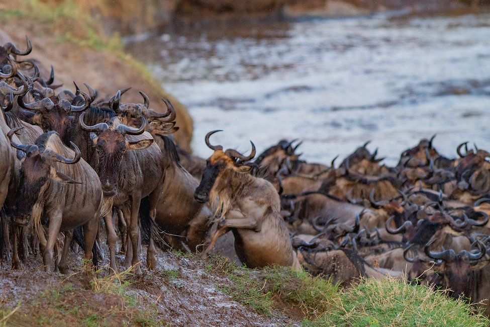 Wildebeast crossing the Mara