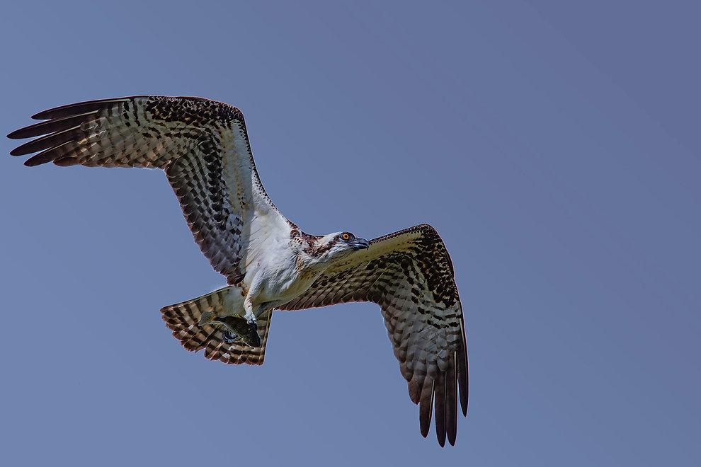 Osprey & Fish