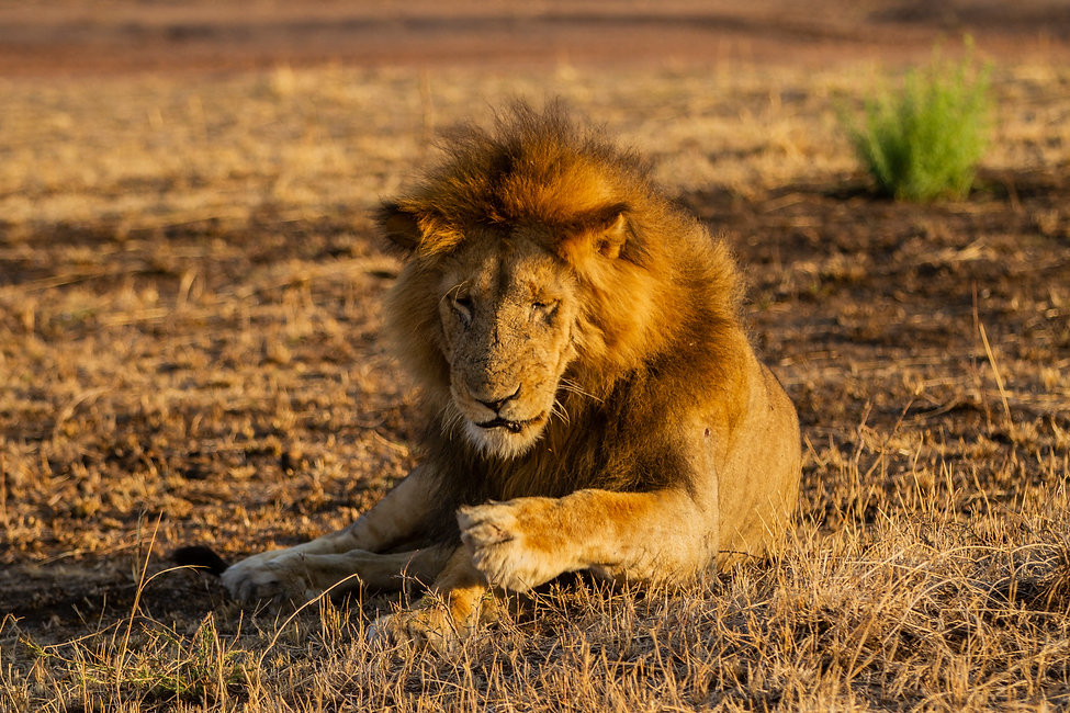 Lion relaxes on the Serengeti