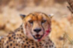 Cheetah Dining
